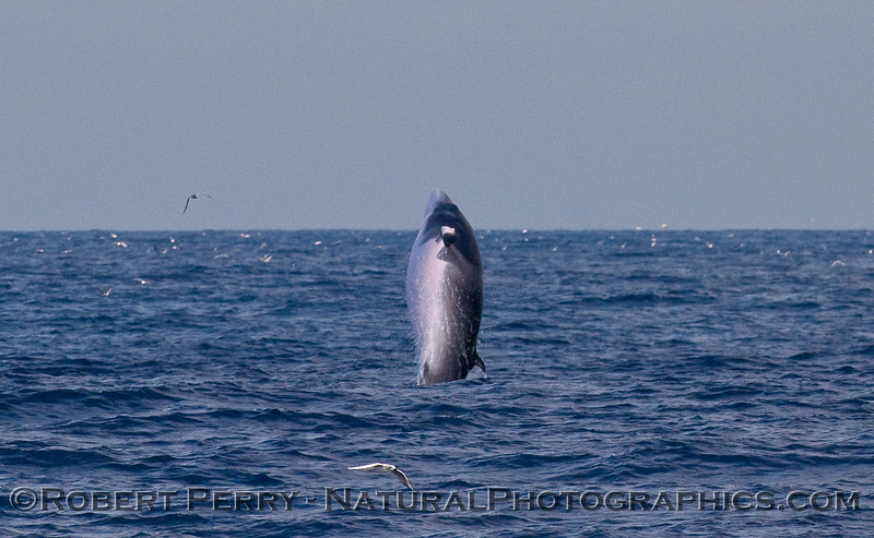Rolling over on its right side...a breaching Minke Whale (Balaenoptera acutorostrata); sequence image 2 of 2.
