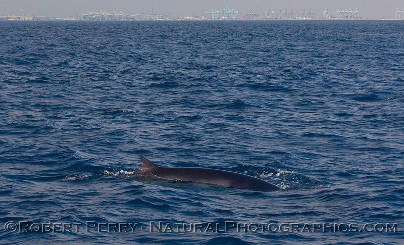 A friendly Minke Whale (Balaenoptera acutorostrata) cruises past our boat.  Hammerheads fill the harbor shoreline in the background.