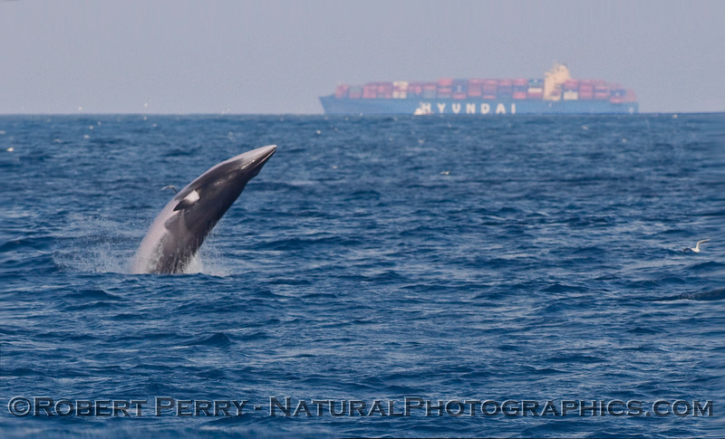 An upside-down guided missile...A Minke Whale (Balaenoptera acutorostrata) takes to the air...sequential image 1 of 4.