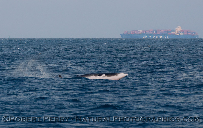 Minke Whale (Balaenoptera acutorostrata) takes to the air...sequential image 3 of 4.