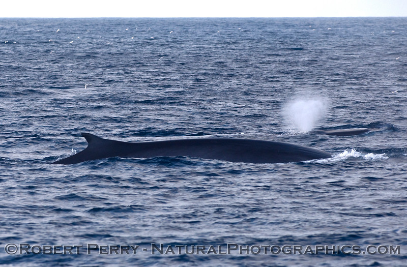 Two Fin Whales (Balaenoptera physalus).