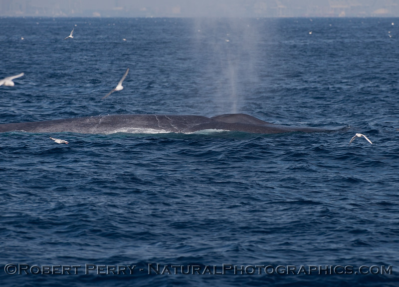 Spout of a Blue Whale (Balaenoptera musculus).