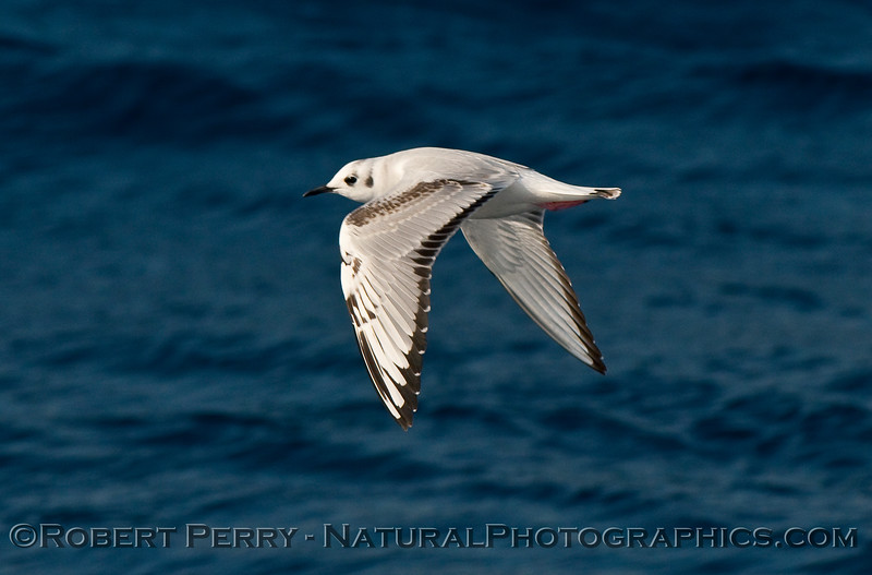 Close look at a friendly Bonaparte's Gull (Larus philadelphia) on patrol for krill.