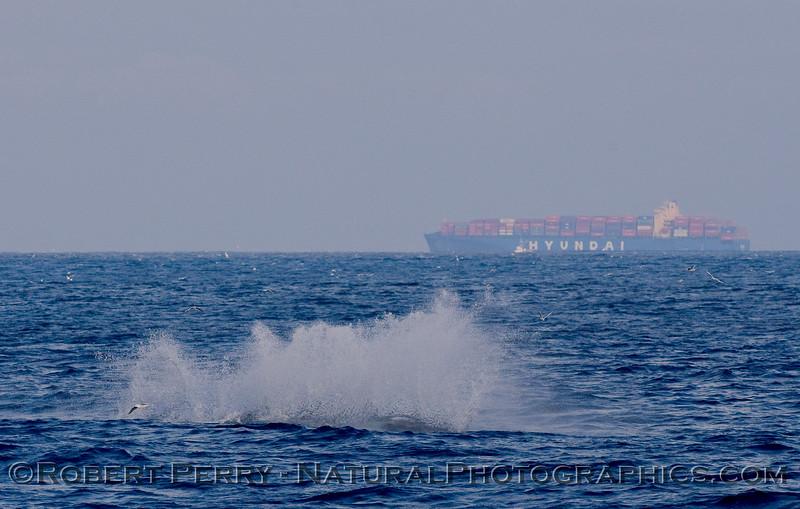 Minke Whale (Balaenoptera acutorostrata) takes to the air...sequential image 4 of 4:  splashdown!