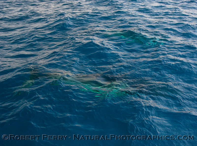 Another look at the whole body of a friendly Minke Whale (Balaenoptera acutorostrata) swimming under the blue water.  Minke #2 is just visible underwater at the top of the image.