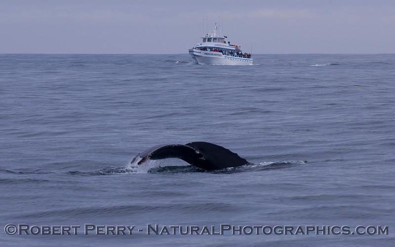 Megaptera novaeangliae & whale watch vessel 2011 04-19 Monterey Bay - 026