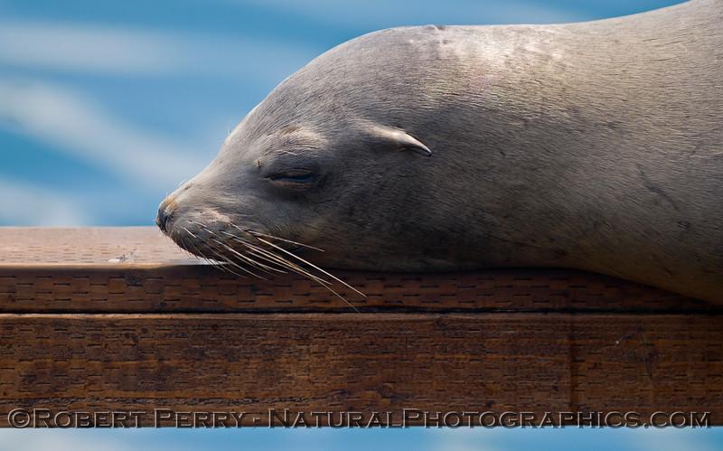 Zalophus californianus mass on dock 2011 04-19 Monterey Fishermans Wharf - 017