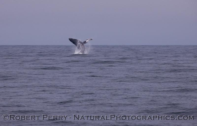 Megaptera novaeangliae breach seq 2011 04-19 Monterey Bay - 001