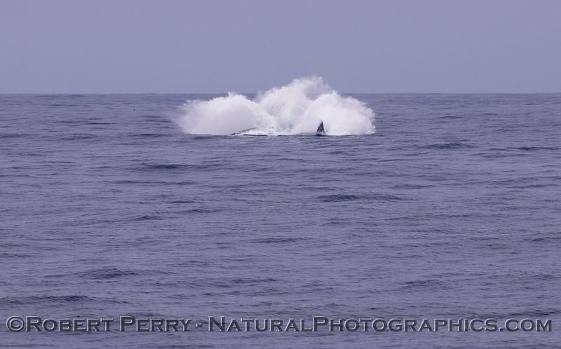 Megaptera novaeangliae breach seq 2011 04-19 Monterey Bay - 003