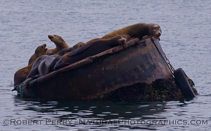 Zalophus on mooring can 2011 04-19 Monterey Harbor - 002