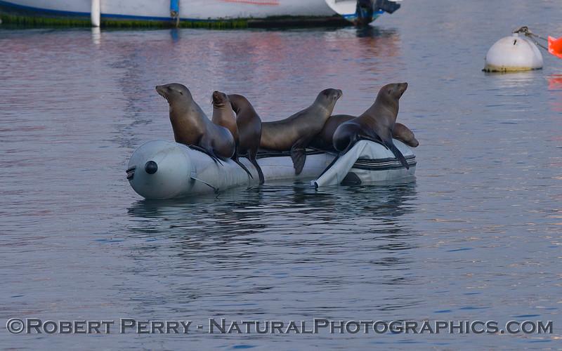 Zalophus californianus group on inflatible boat 2011 04-19 Monterey Harbor - 002
