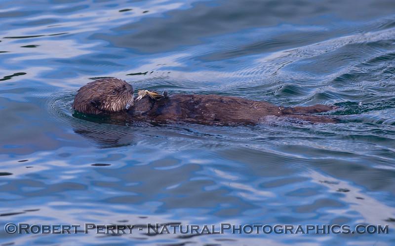 Enhydra lutris 2011 04-19 Monterey Bay - 047