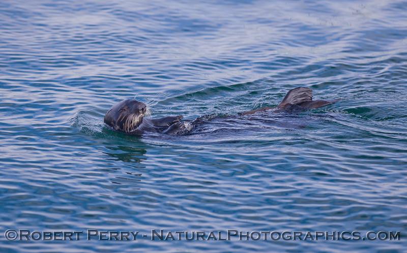 Enhydra lutris 2011 04-19 Monterey Bay - 034
