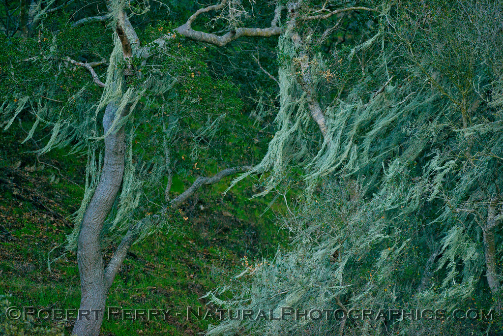 lichen 2013 01-27 Lake Cachuma-006