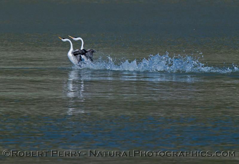Aechmophorus mating displays 2013 01-27 Lake Cachuma-012
