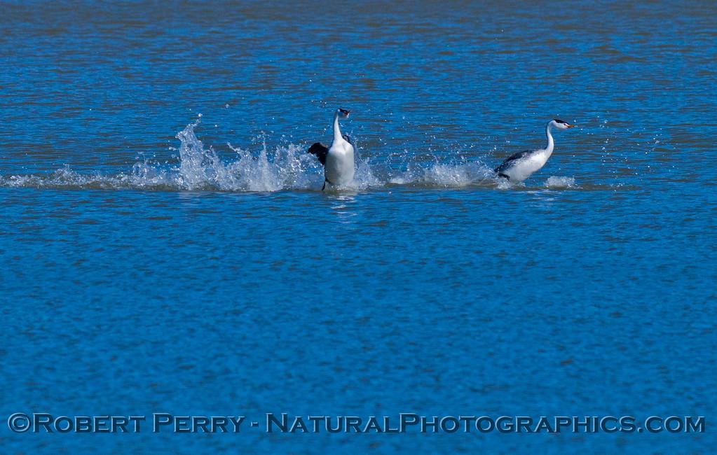 Aechmophorus mating displays 2013 01-27 Lake Cachuma-024