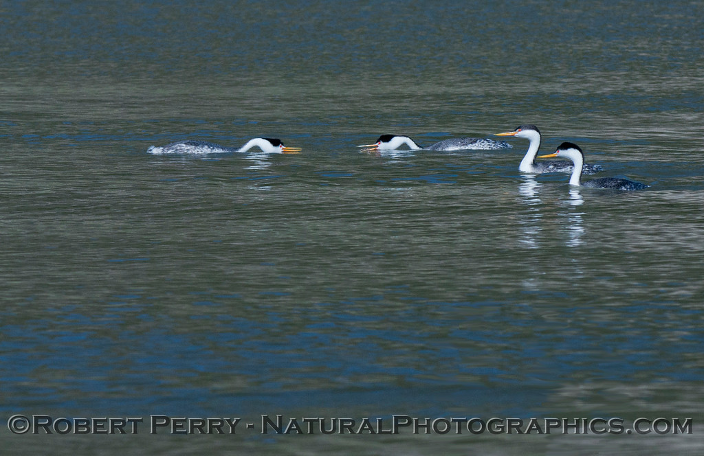 Aechmophorus mating displays 2013 01-27 Lake Cachuma-007