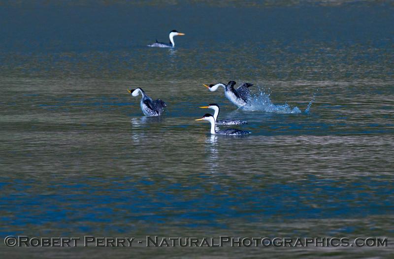 Aechmophorus mating displays 2013 01-27 Lake Cachuma-008
