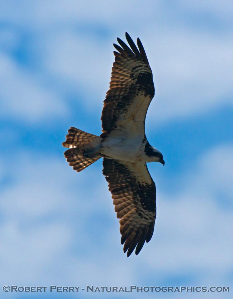 The mighty osprey (<em>Pandion haliaetus</em>).