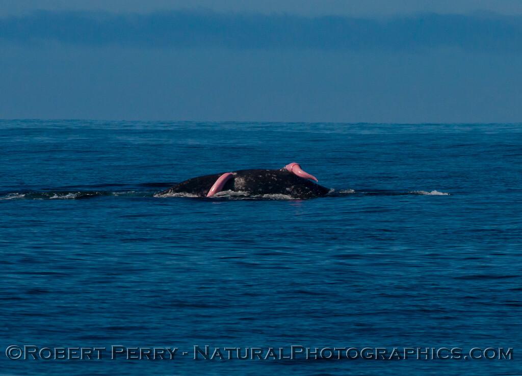Pacific gray whale (<em>Eschrichtius robustus</em>)....mating.