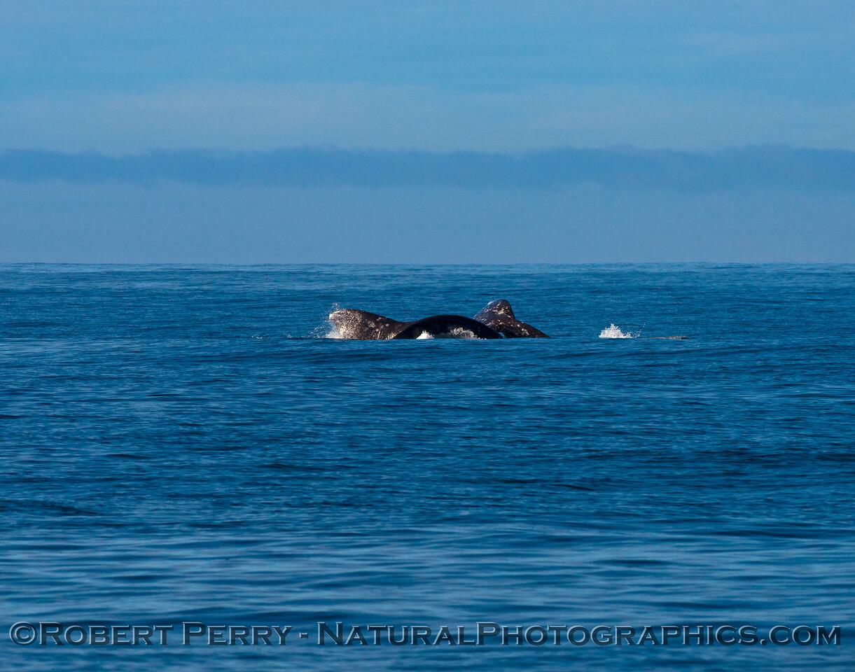 Pacific gray whale (<em>Eschrichtius robustus</em>)...mating.