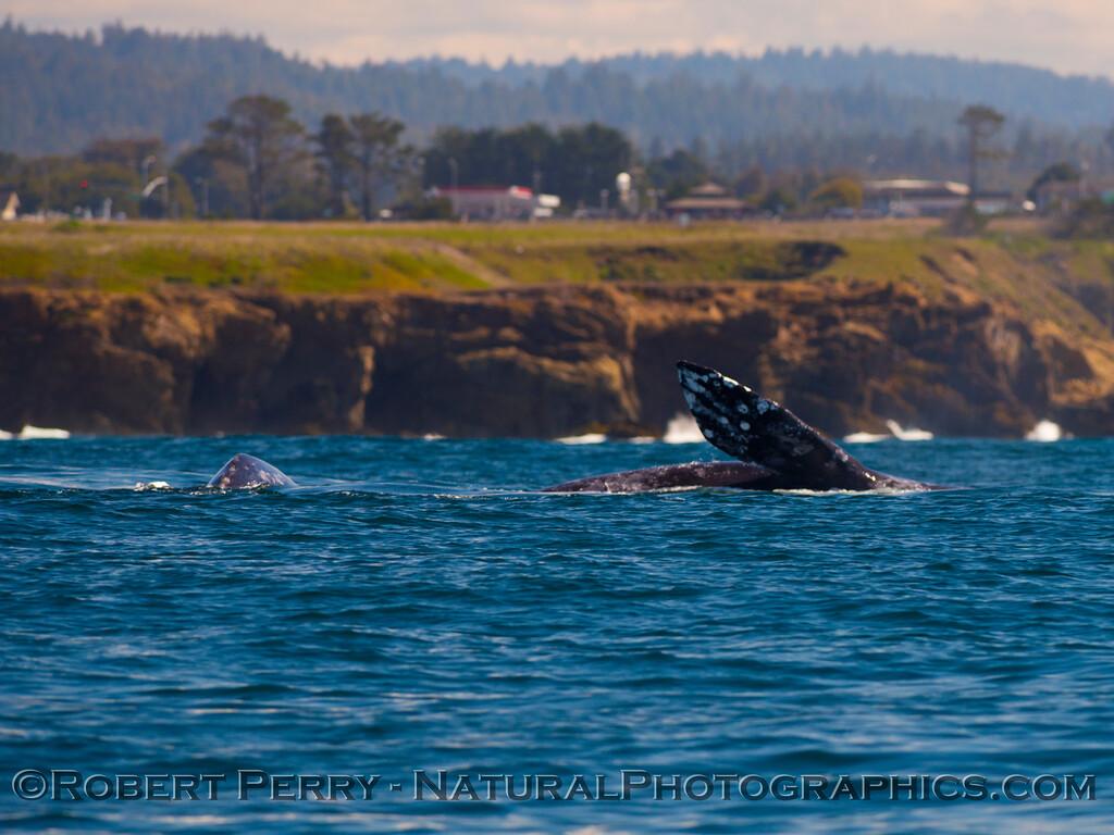 Pacific gray whale (<em>Eschrichtius robustus</em>)....pectoral fin.