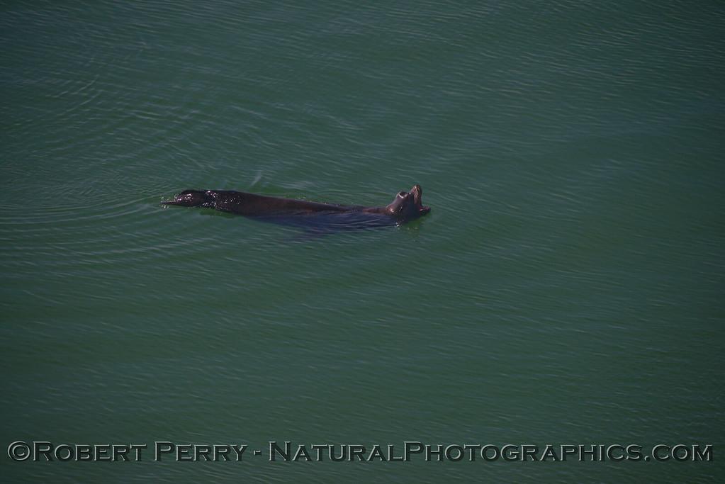 Adult male California sea lion (<em>Zalophus californianus</em>).