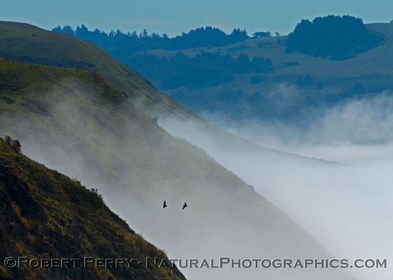 Two hawks and fog - Sonoma coast.