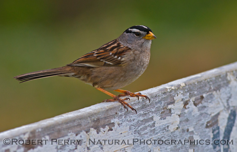 White crowned sparrow (<em>Zonotrichia leucophrys</em>) on fence - Mendocino.