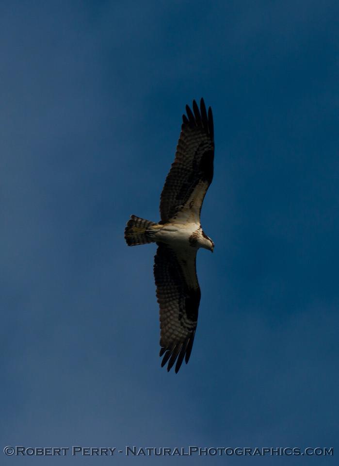 An osprey (<em>Pandion haliaetus</em>).