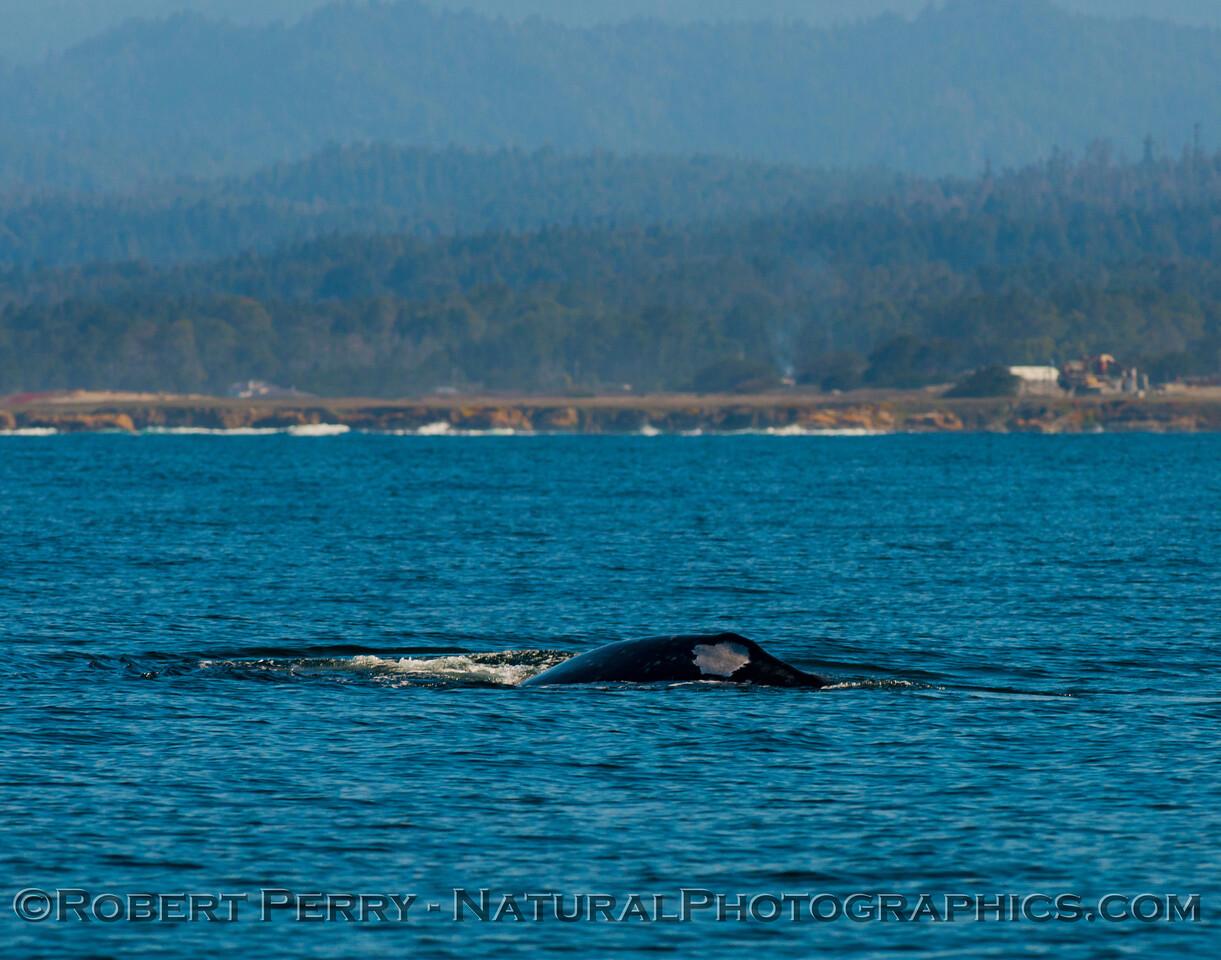 Pacific gray whale (<em>Eschrichtius robustus</em>)....dorsal white patch.