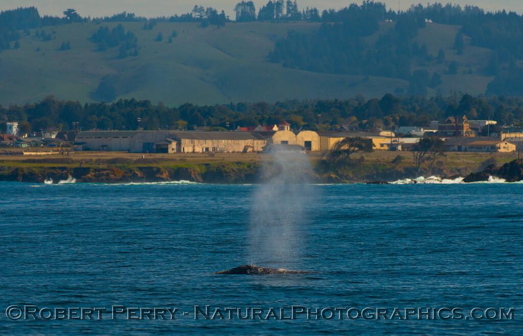 Pacific gray whale (<em>Eschrichtius robustus</em>).