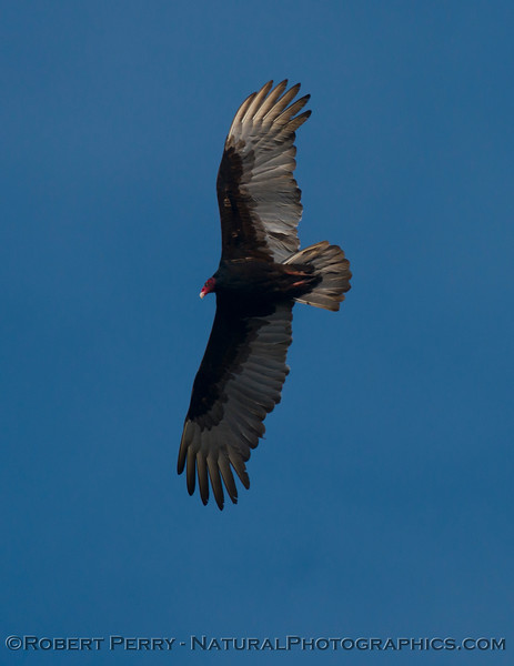 Turkey vulture (<em>Cathartes aura</em>).