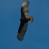Turkey vulture (Cathartes aura).
