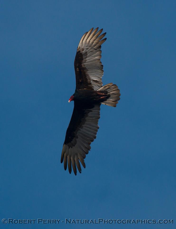 Turkey vulture (<em>Cathartes aura</em>).