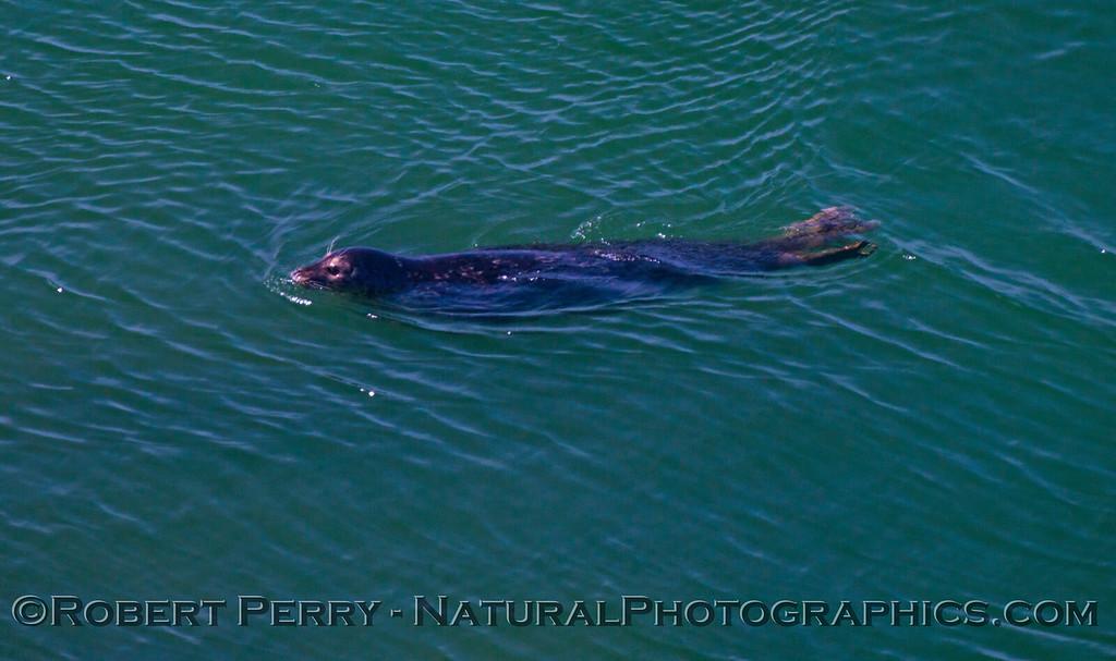 Harbor seal (<em>Phoca vitulina</em>) - Russian River inlet.