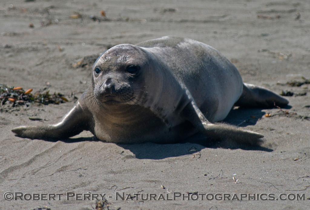 Elephant seals (<em>Mirounga angustirostris</em>) at Piedras Blancas.