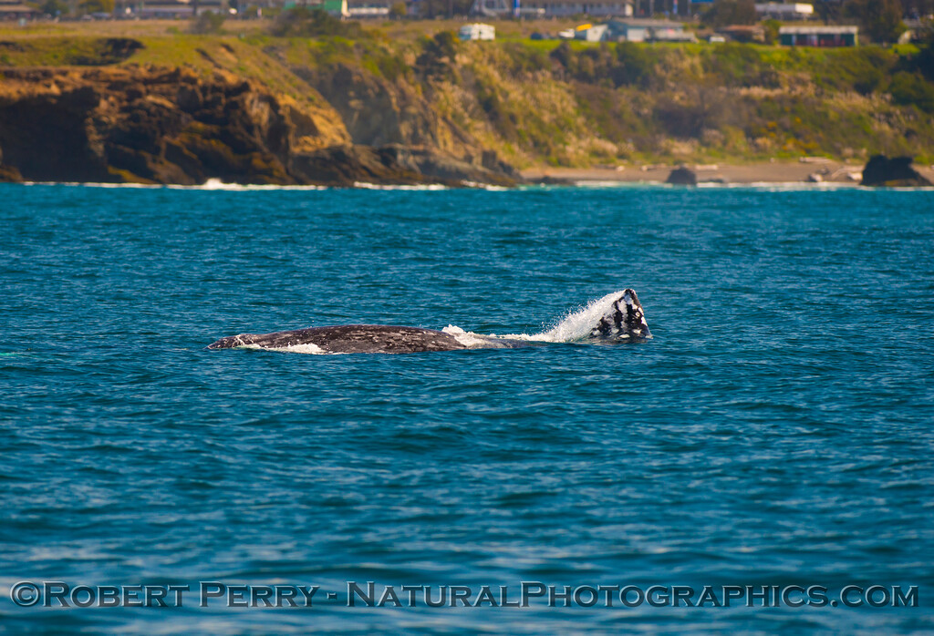 Pacific gray whale (<em>Eschrichtius robustus</em>)....rolling around.