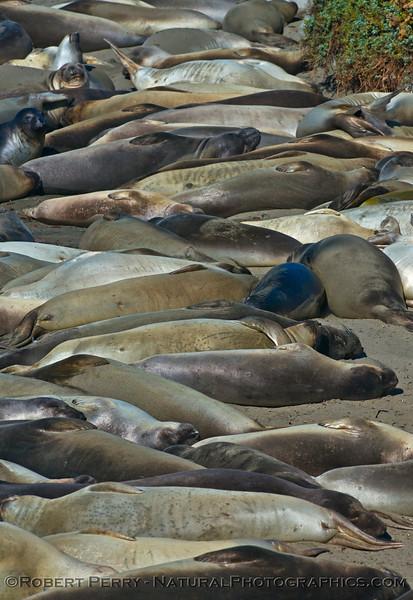 Mirounga angustirostris on beach 2014 10-12 Piedras Blancas-011