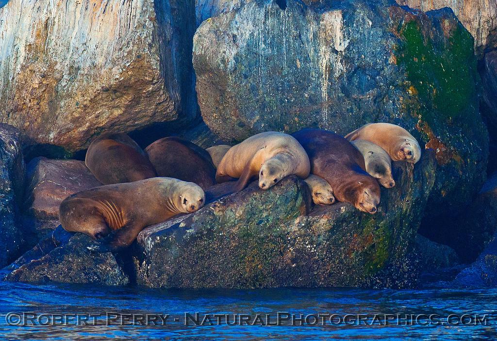 California sea lions relax on the Monterey Harbor breakwater.