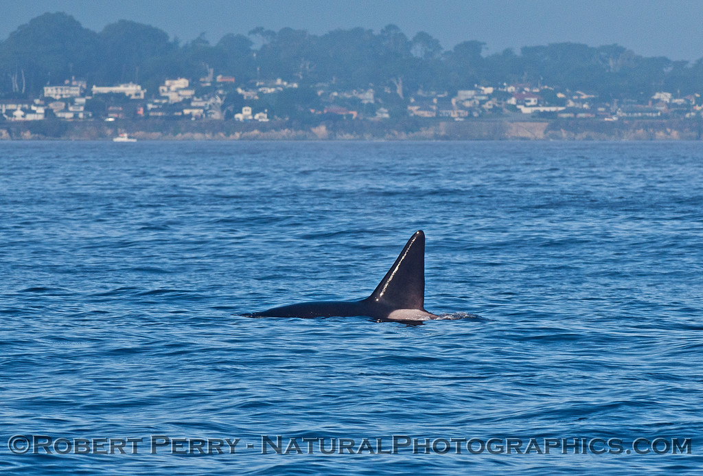 Male killer whale dorsal fin with Monterey coast in back