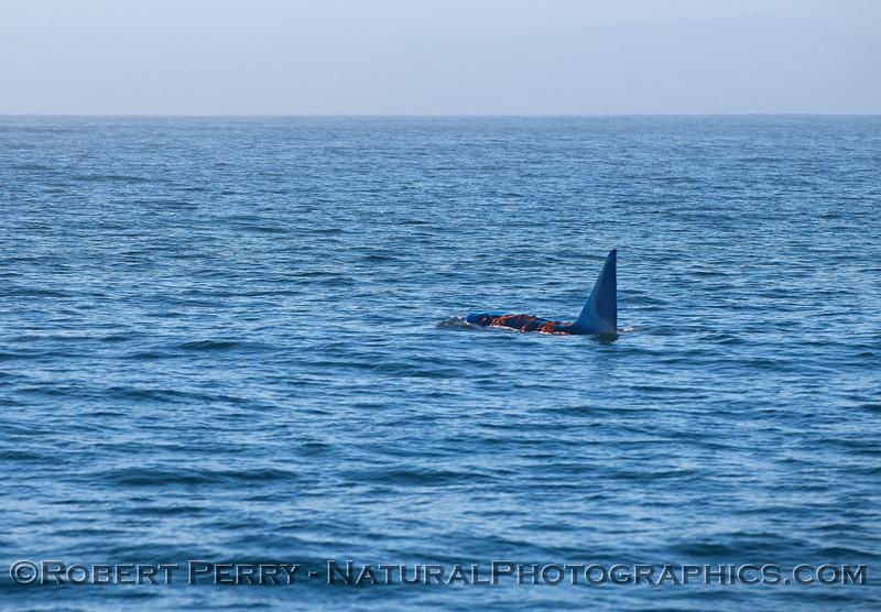 Male killer whale draped in giant kelp (Macrocystis) - kelping.