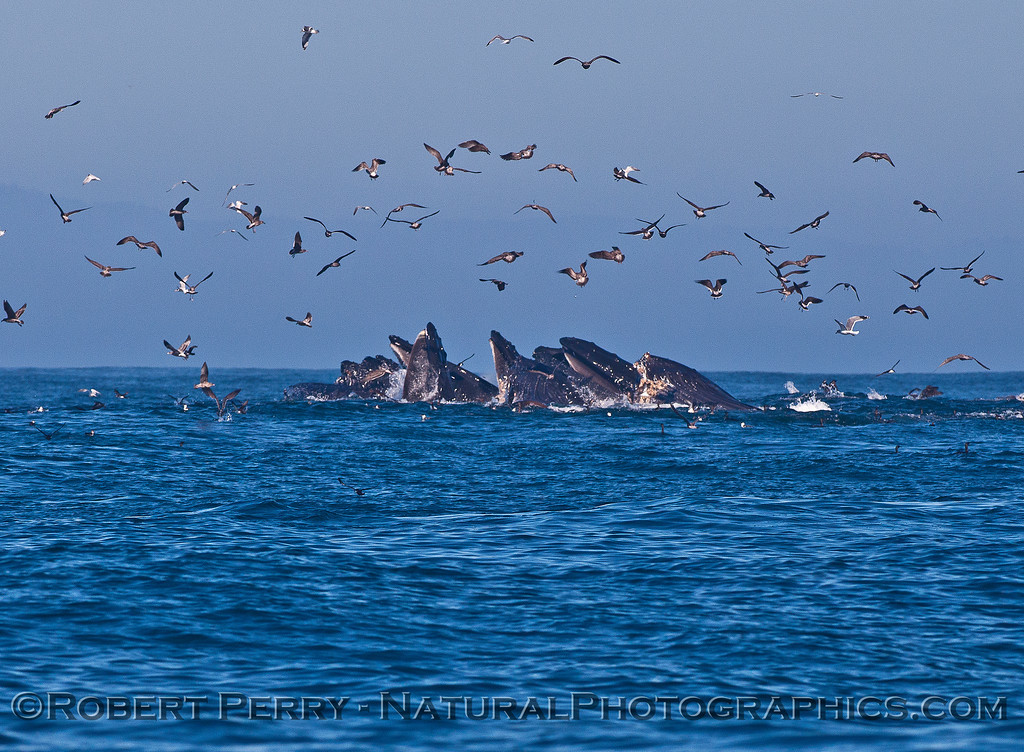 Surface lunge-feeding humpback whales cooperatively feeding on a ball of anchovies.