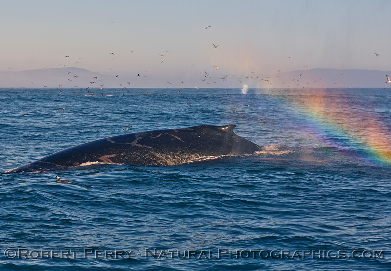 "Humpback whale feeding at the ""end of the rainbow.""   (Rainbow caused by its own spout spray)"