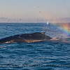 """Humpback whale feeding at the """"end of the rainbow.""""   (Rainbow caused by its own spout spray)"""