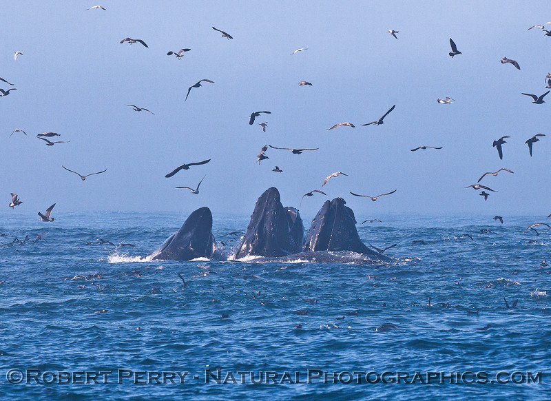 Surface lunge-feeding humpback whales.