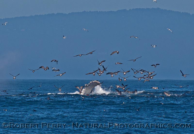 Megaptera novaeangliae 2015 10-11 Monterey Bay-043