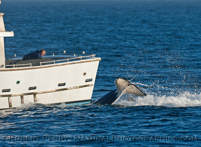 """A killer whale  has removed a California sea lion from its """"hiding place"""" against the hull of the """"Point Sur Clipper"""""""