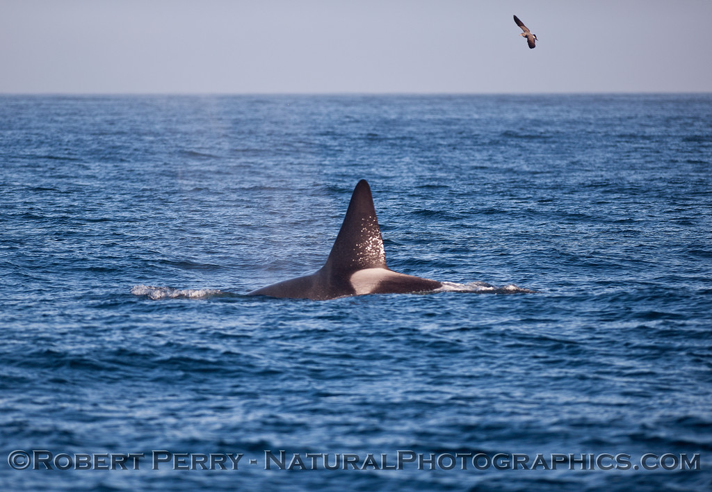 "Male killler whale dorsal fin.  Whale was nicknamed ""fat fin"""