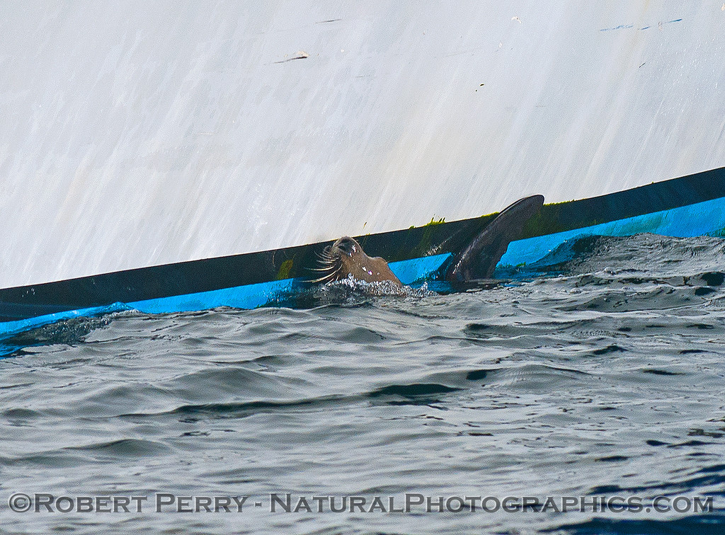 """A California sea lion hugs the vessel """"Point Sur Clipper"""" in an attempt to hide from predatory killer whales.  See next photo."""